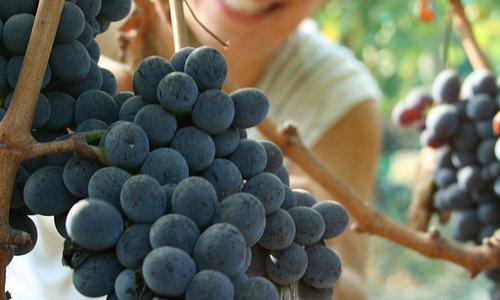 Our annual grape picking festival