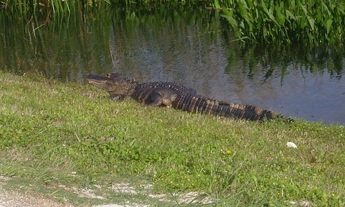 Frequent gator sightings; beware during mating season