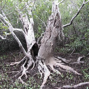 Mangrove swamp and mud crabs