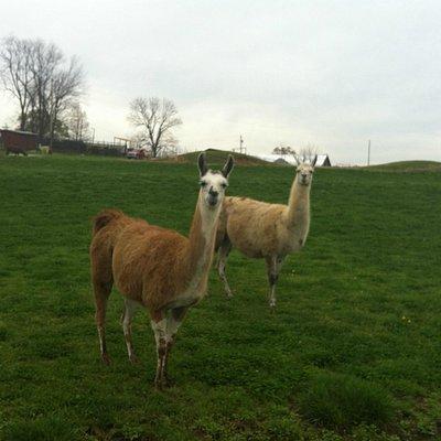 Llamas waiting to be fed.