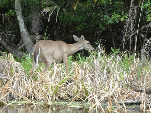 White tail deer eating at the shore