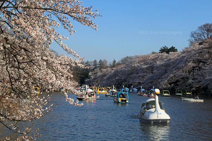 The lake in the park was surrounded by drooping sakura trees