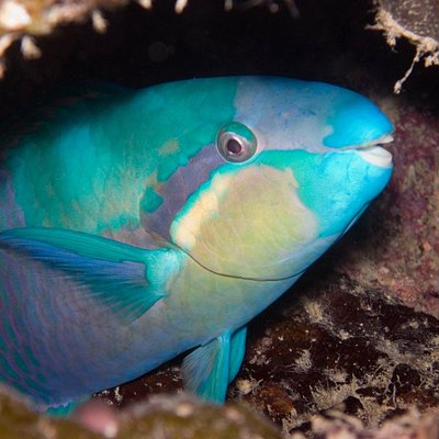 Parrotfish on night dive