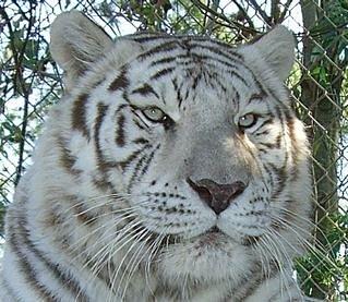 Angel, white tiger