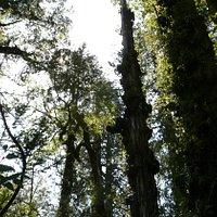 Alerces en sendero homonimo, Reserva Costera Valdiviana, sector chaihuin