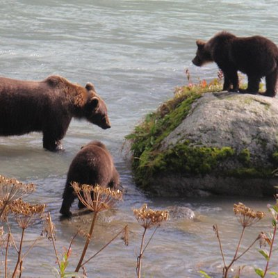 Sow and cubs on the Chilkoot