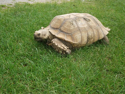 Giant tortoise (1 of 2) that free range inside and out.