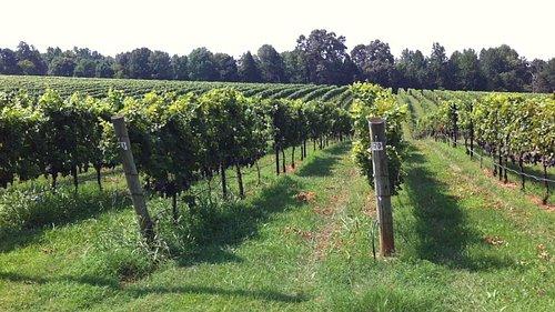 Rows upon rows of luscious varietal grapes