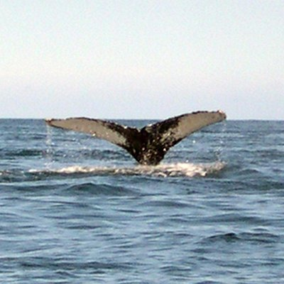 Humpback Whale going deep
