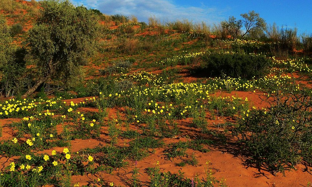 Devil's Thorn flowers appear after good rains.