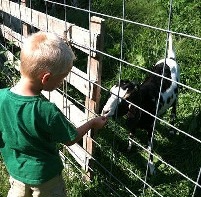 the goats on Peterson's Farm