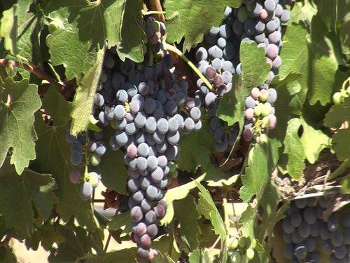Great Grape Photo