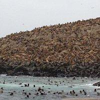 Lobos marinos en Isla Palomino