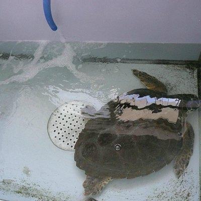 Tartaruga caretta-caretta in cura