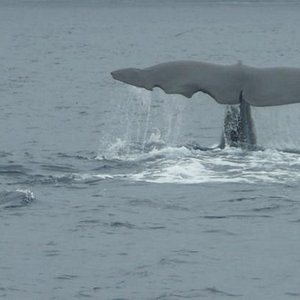majestic Sperm Whale diving to feed