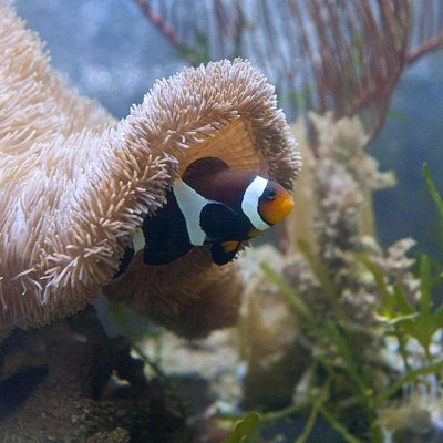 symbiotic relationship of anemone and fish