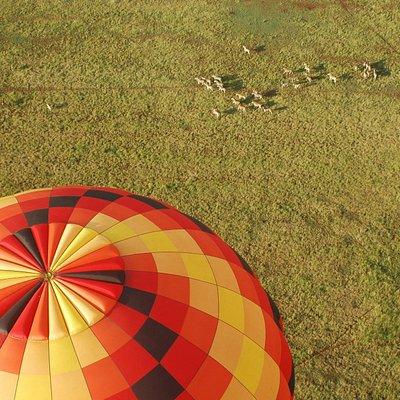 Balloon over herd of Zebra