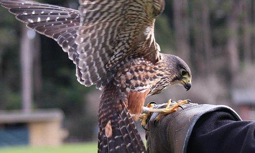 Up-close: falconry display
