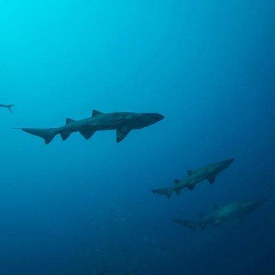 Sharks on the Caribsea