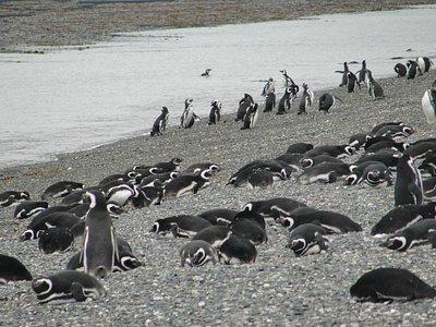 Pinguins Magalhanicos