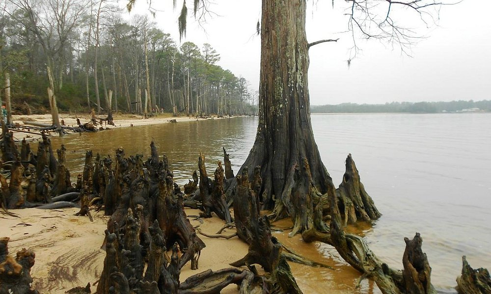 Cypress Knees on Pine Cliff Beach
