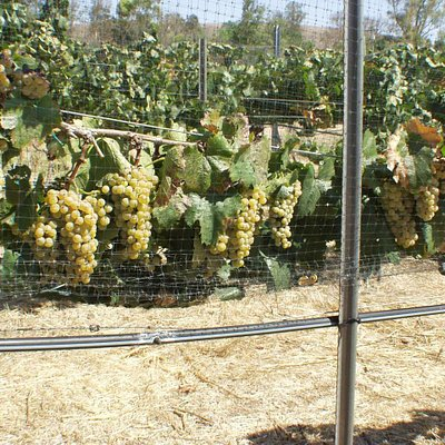 Bunches of Chardonnay winegrapes ripening