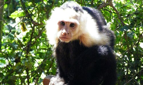 One of our white-faced capuchins, Julian