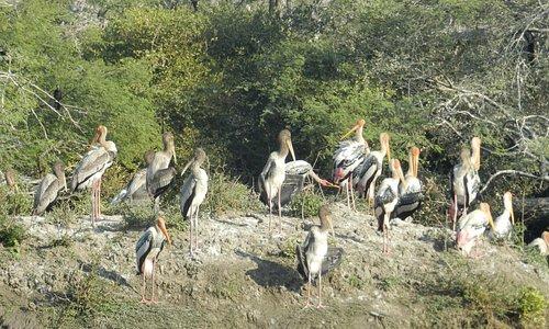 Painted stork babies