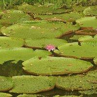 Lilies on Lake Janauari