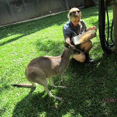 Kangaroos and Wallaby at Kuranda Koala Gardens