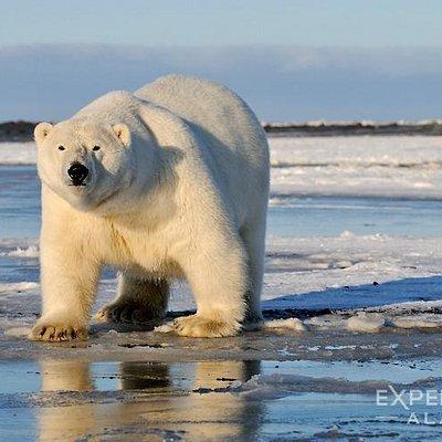 An Alaska polar bear in the arctic, photo tour.