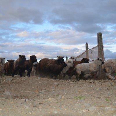 Ovejas Chilotas