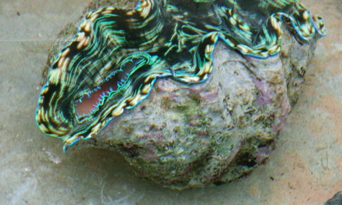 Colorful giant clam