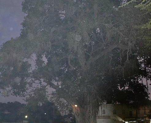 The 600 year old Banyan Tree