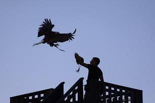 Il falconiere Massimo Lanatà al lavoro con una delle sue aquile.