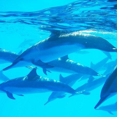 Hawaiian Wild Spinner Dolphins
