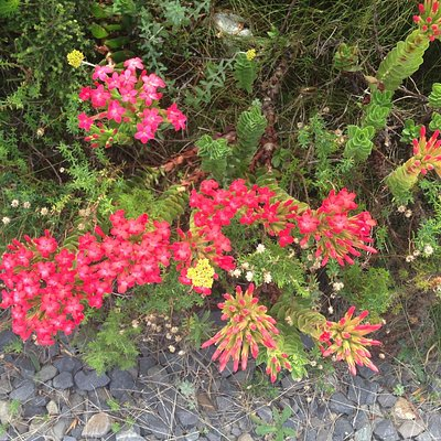 Bright red fynbos flowers