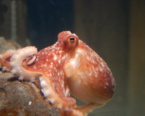 One of our resident octopuses