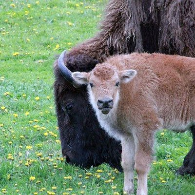 Fuzzy calves begin to arrive in mid-May