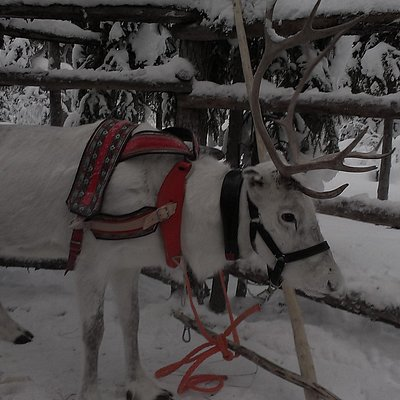 Our young reindeer