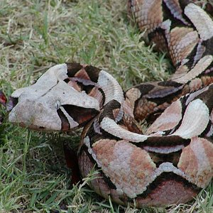 Angry Gaboon Adder