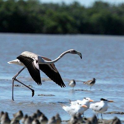 Wild Immature Flamingo in Everglades National Park