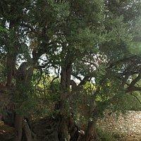 オリーブの千年木