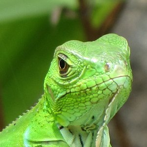Baby Iguana at the Gamboa Zoo
