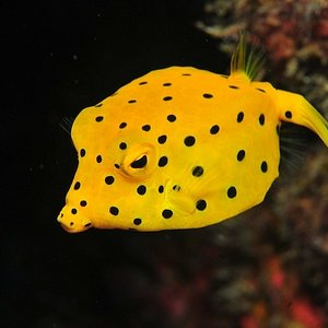 Yellow Boxfish - juvenile