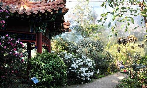 Duftende Rhododendron am chinesischen Pavillon