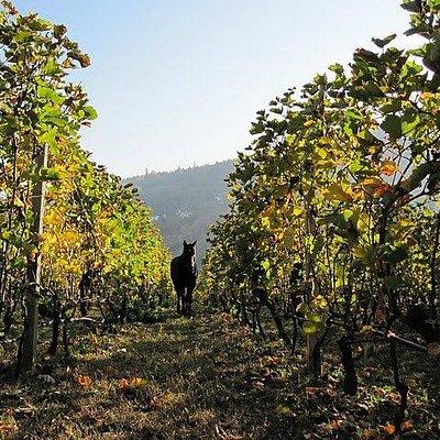 Domaine Dalamara - Vineyard