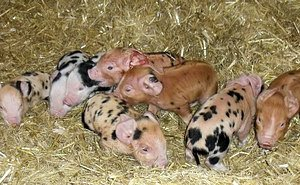Elsie's Piglets