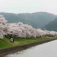 斐伊川桜並木