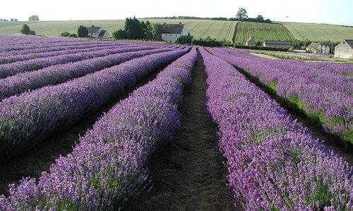 Lavender fields in Full bloom in July